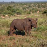 Safari Krüger Nationalpark Nashorn