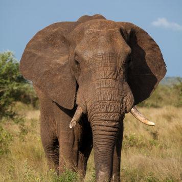 Safari Krüger Nationalpark Elefant