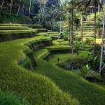 Reisfelder Bali Ubud