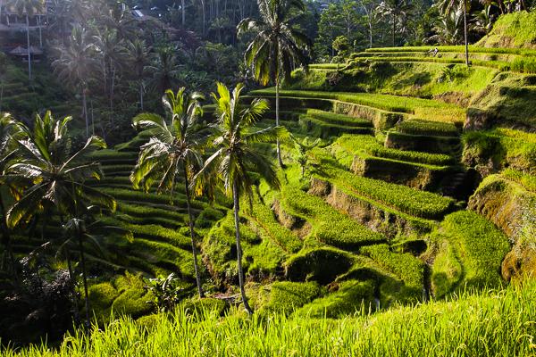 Die Reisterrassen in Tegallalang bei Ubud
