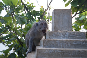 Monkey Uluwatu