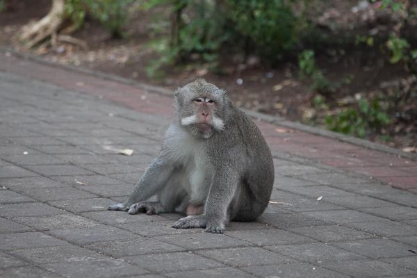 Monkey Uluwatu