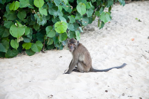 Koh Lanta Monkey