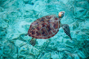 Schildkröte Lankayan