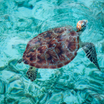 Lankayan Island Meeresschildkröte