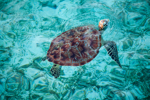 Meeresschildkröte Lankayan Island