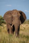 Elefant Krüger Nationalpark