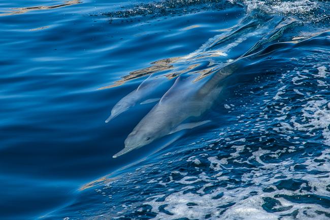 Delfinbaby