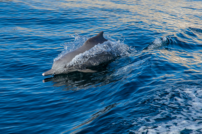 Delfin Oman Fjord Musandam