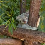 Koala Baby sleeping