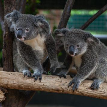 Koalas Wildlife Habitat