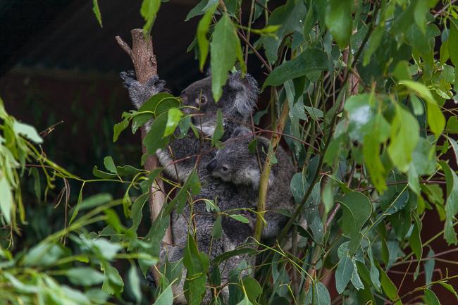 Koala Baby Lone Pine Koala Sanctuary Brisbane