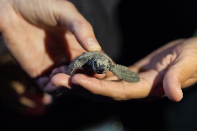 Mini-Schildkröten in Bundaberg, Australien