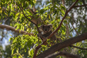Koalas freie Wildbahn Australien