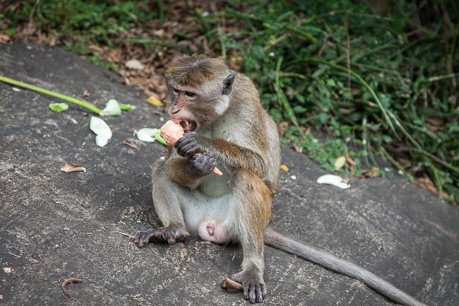 Affe Tempel Sri Lanka