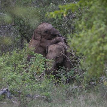 Elefanten Baby Yala National Park Sri Lanka