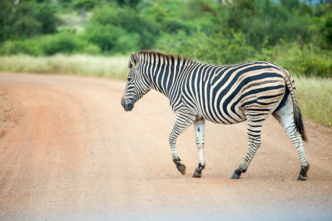 Zebra Krüger Park Südafrika