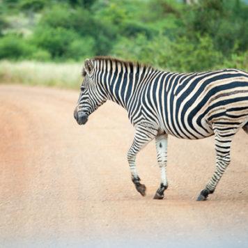 Zebra Krüger National Park