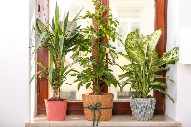 Wohnzimmer Pflanzen in pflanzen in unserer wohnung josie