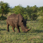 Nashorn im Kruger-Nationalpark