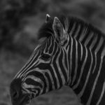 Zebra im Close-up