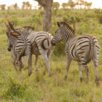 Zebras im Kruger-Nationalpark