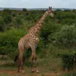 Giraffe im Kruger-Nationalpark