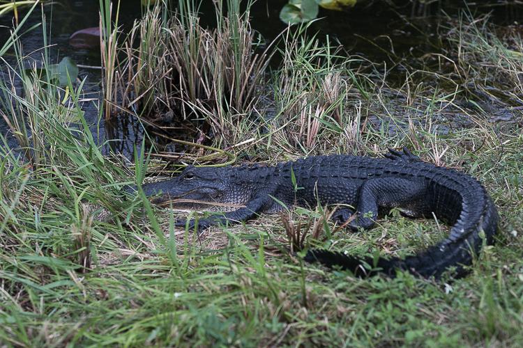 florida-miami-alligator-everglades-shark-valley_