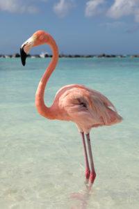 Flamingo Aruba freie Natur