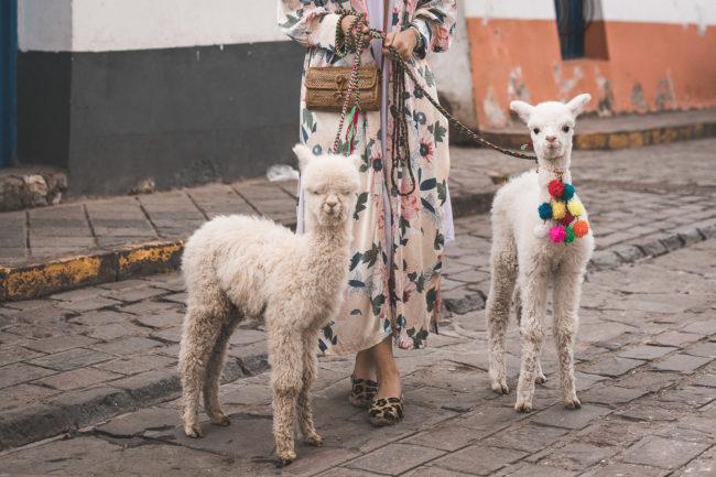 Baby Alpakas in Cusco Peru