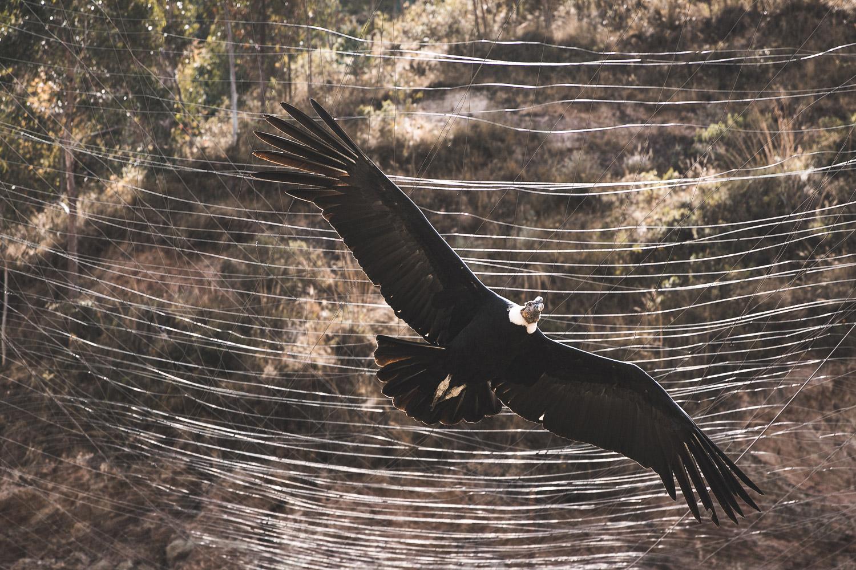 Andenkondor, gesehen in Peru